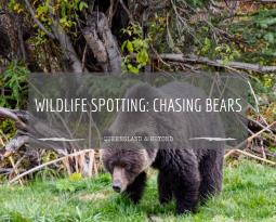Chasing bears across Canada…
